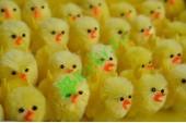 Цыплята желтые, шт