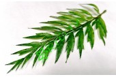 Лист папоротника Блехнум зеленый, шт.