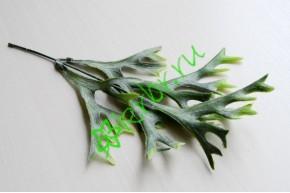 Платицериум зеленый, шт