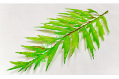 Лист папоротника Блехнум светло-зеленый, шт.