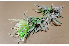 Чертополох азиатский бело-зеленый, шт